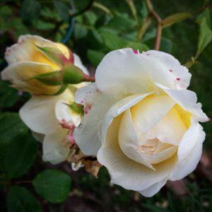 Rose´s Feng Shuiträdgård