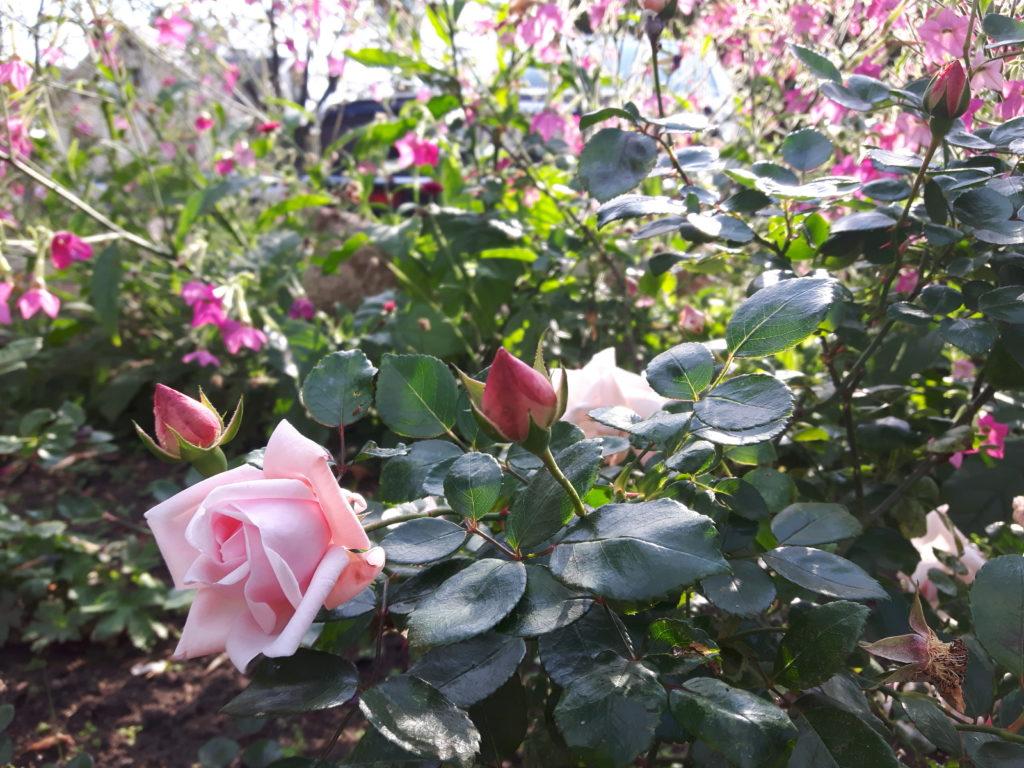 Rosa rabatt i feng shui trädgården